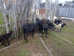 Ovelhas paridas