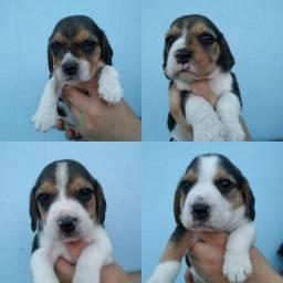 Filhotes de Beagles disponíveis