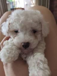 Filhote mini poodle
