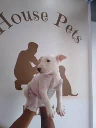 Bull Terrier Inglês pirata/fulvo/tricolor/white e black brindle, machos e fêmeas!