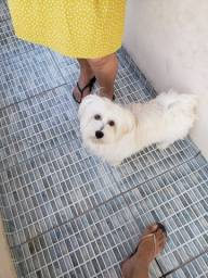 Cachorro maltês macho