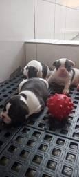 Filhotes de bulldog francês para reserva