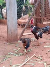 40reais.galinhas.60reais.galos caipirao