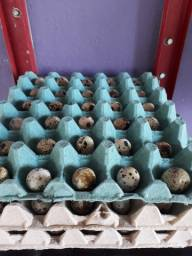 Pronta entrega Ovos de codornas gigantes