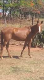 Égua mansa,e de charrete