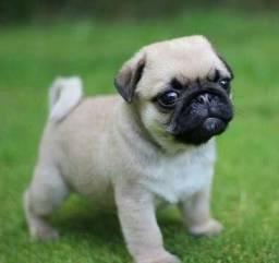 Pug filhote confira na MK DR PET