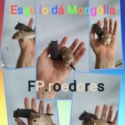 Esquilo da mongolia