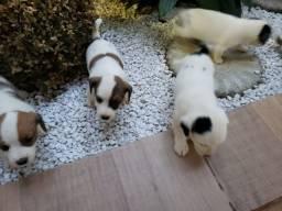 Vendo lindos filhotes da raça Jack Russel Terrier.