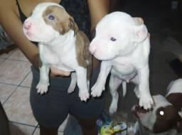 Filhotes de Pitbull.