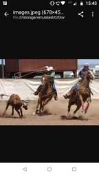 Cavalos pronto no laço pé e  cabeça