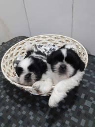 Lindos filhotes de poodle toy e shitzu
