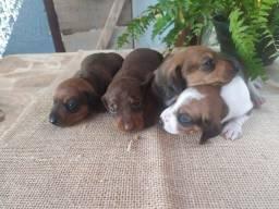 Basset dachshund - FÊMEAS