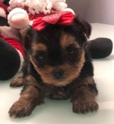 Yorkshire Terrier micro fêmea esperando por você na Espaço Vet