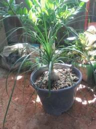 Palmeira pata de eefante