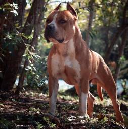 Padreador de American Staffordshire Terrier com Pedigree CBKC.