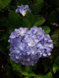 Mudas de Hortência, rosas em cacho e hibisco.