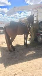 Cavalo quarto de milha de direita