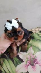 Yorkshire Terrier fêmea micro