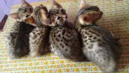Bengal Filhotes á Pronta Entrega