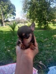 Linda Ninhada de Chihuahua disponivel para entrega Seropédica RJ