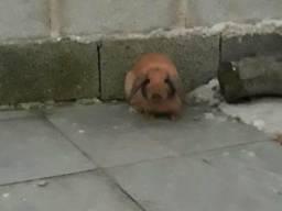 Doa se Mini coelho