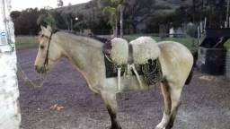 Cavalo Crioulo encilhado