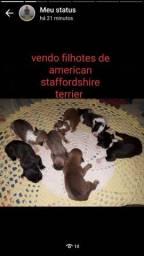 Vendo lindos filhotes de American Staffordshire Terrier