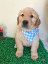 Vendo filhotes de Golden Retriever