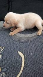 Vendo filhotes de Labrador