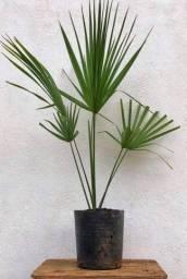 Palmeira leque