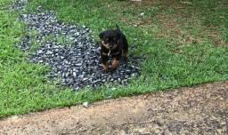 Rottweiler macho filhotes