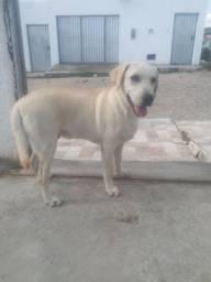 Cão Labrador Retreiever