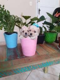 Duas   Poodle fêmeas  toy  com número 1