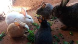 Vende se filhotes de coelho