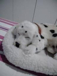 Vendo lindo cachorrinho