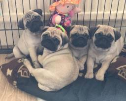 Filhotes de Pugs machos ou Femeas a pronta entrega