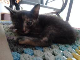 Adoção Gatinho macho ( 2 meses)