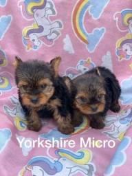 Yorkshire micro com pedigree microchip até em 18x
