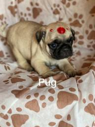 Pug com pedigree microchip até em 18x