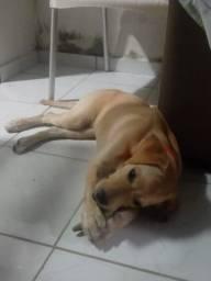 Labrador linda