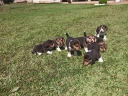 Filhotes de Beagle disponível