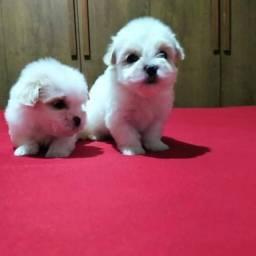 Filhotes de maltes mini baby face 900.00
