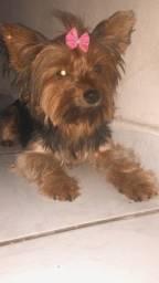 Malu procura namorado Yorkshire Terrier