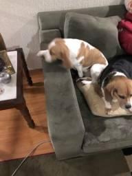 2 Beagle femeas