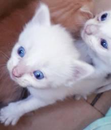 Gatinhos brancos com olhos azuis