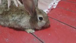 Vendo coelha 50