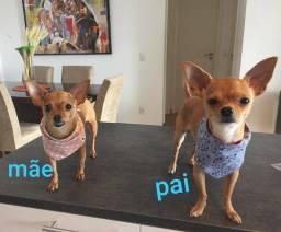Pinscher mestiço Chihuahua