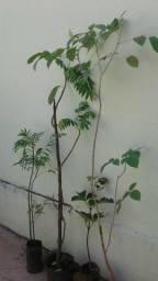 Mudas pingo de ouro, manga, laranja e jabuticaba produzindo,palmeira imperial 4mts