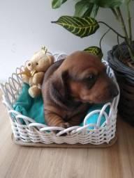 Lindas bebês dachshund (salsicha)