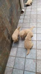 Golden  Retriever R$ 2.350,00